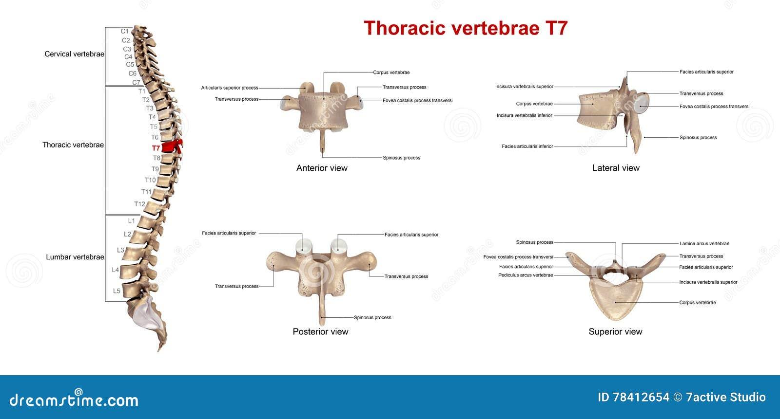 Brust- Wirbel T7 stock abbildung. Illustration von abbildung - 78412326