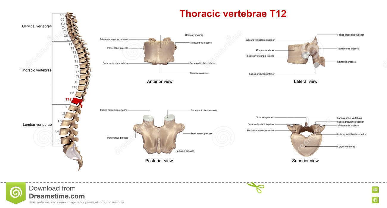 Ziemlich T12 Wirbelsäule Galerie - Menschliche Anatomie Bilder ...