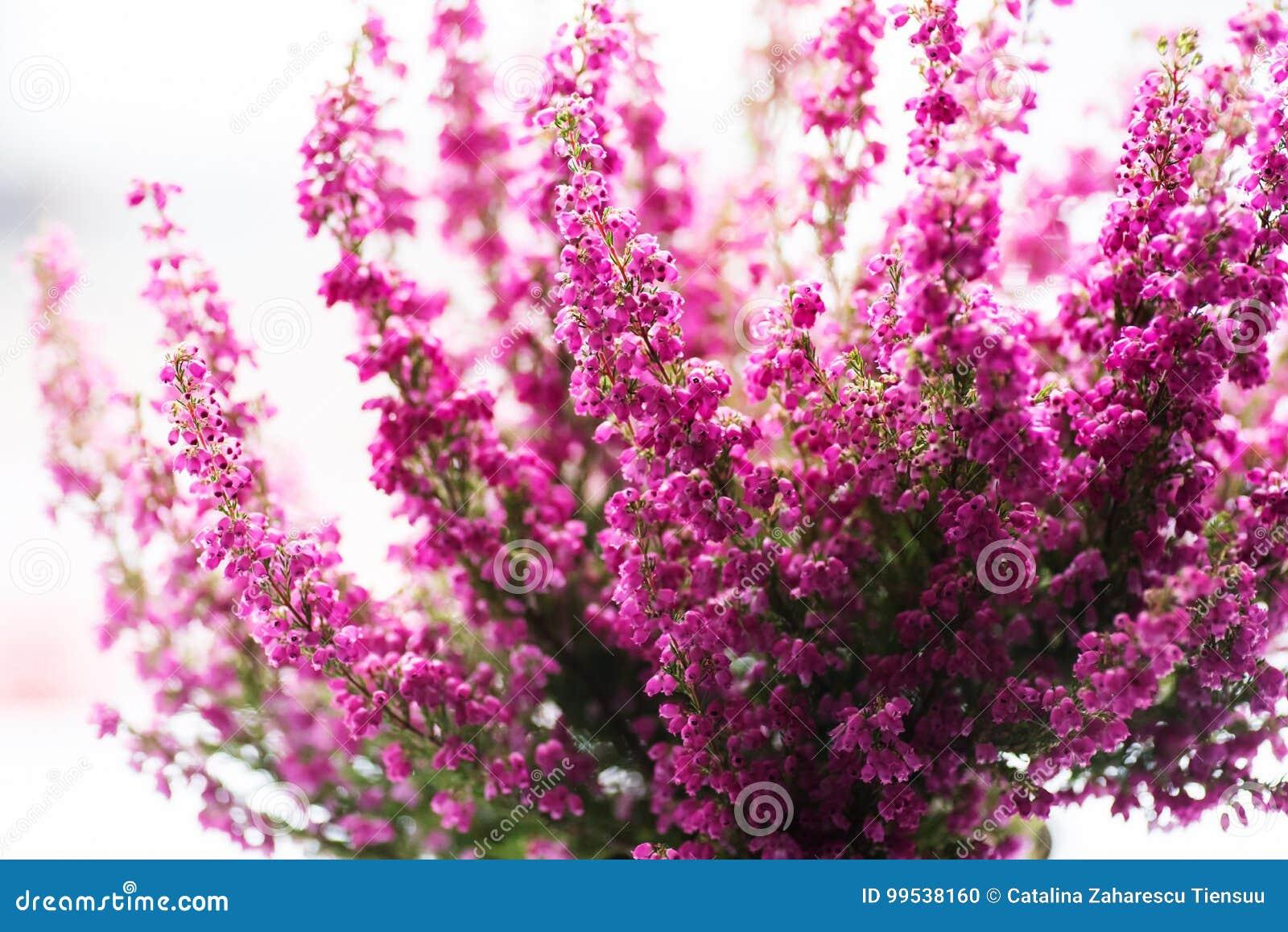 Bruyere Gracilis D Hiver De Bruyere Dans La Pleine Fleur Photo Stock