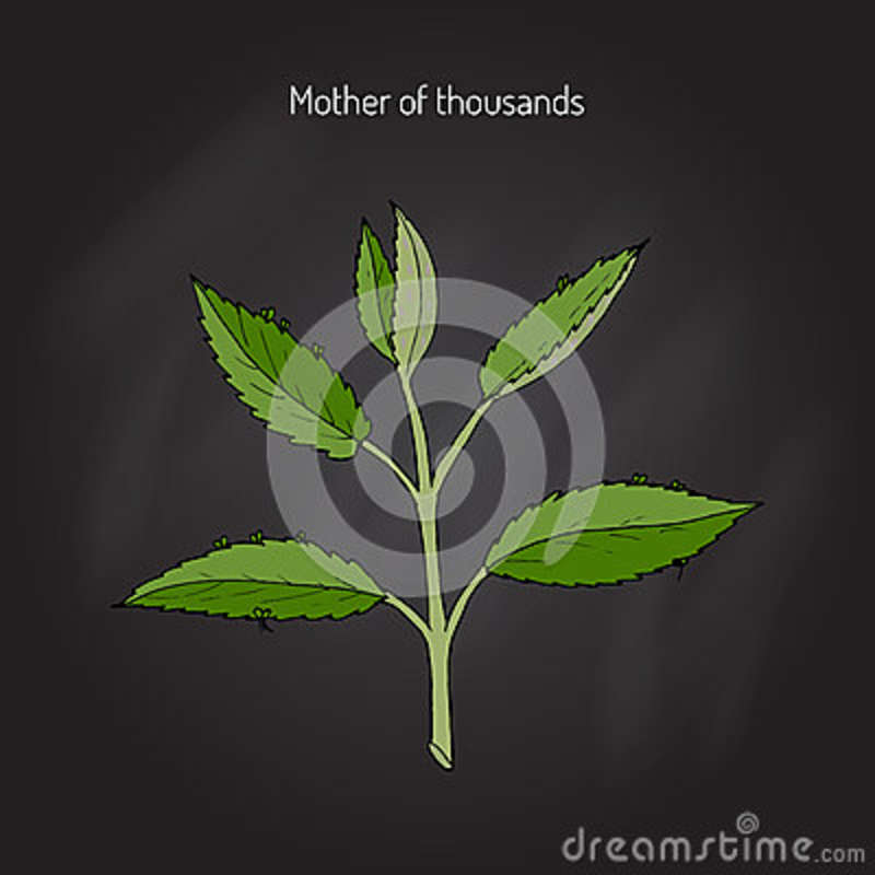 Mother Of Thousands Plant Called on plant care, plant life in mexico, plant called string of hearts, plant called crown of thorns, plant mother of the world,
