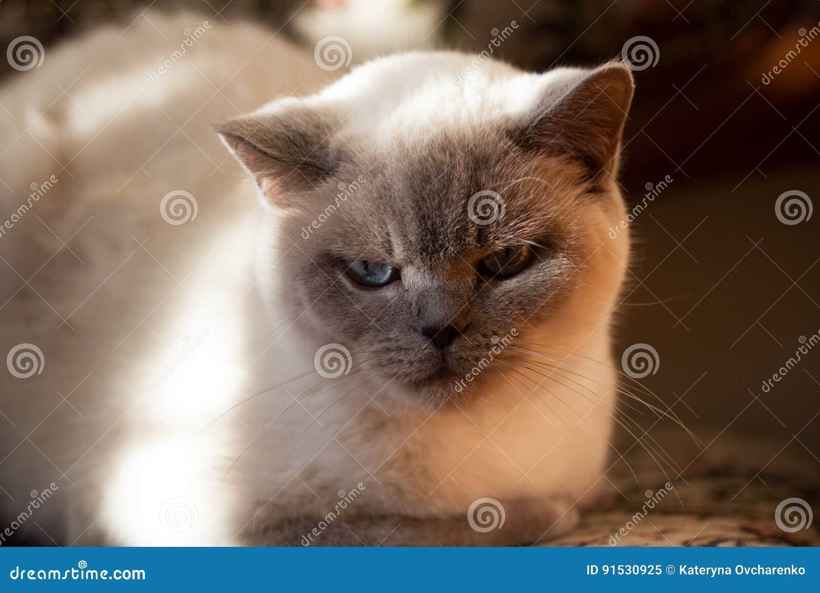 Brytyjski Biały Kot Z Niebieskimi Oczami Obraz Stock Obraz