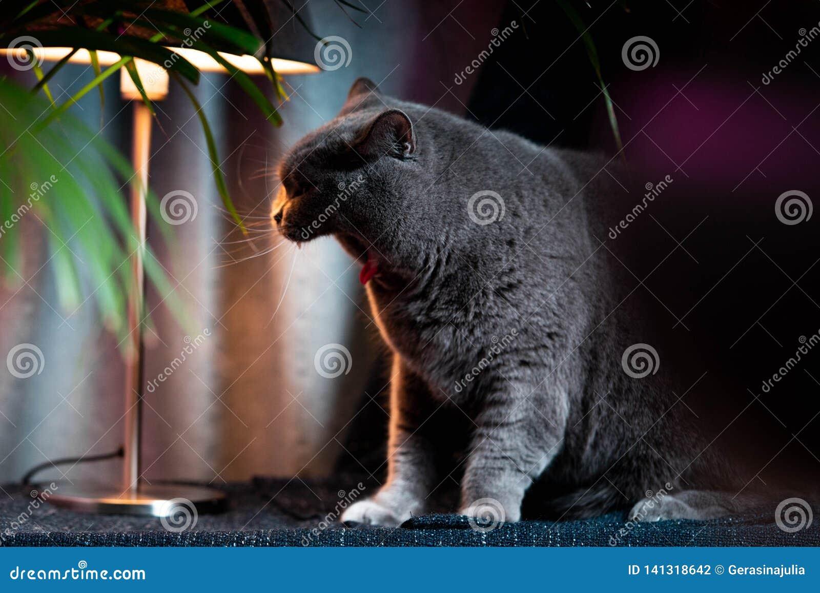 Brytyjski discontented ziewający śliczny kot Pojęcie zwierząt lub zwierząt domowych osobowości