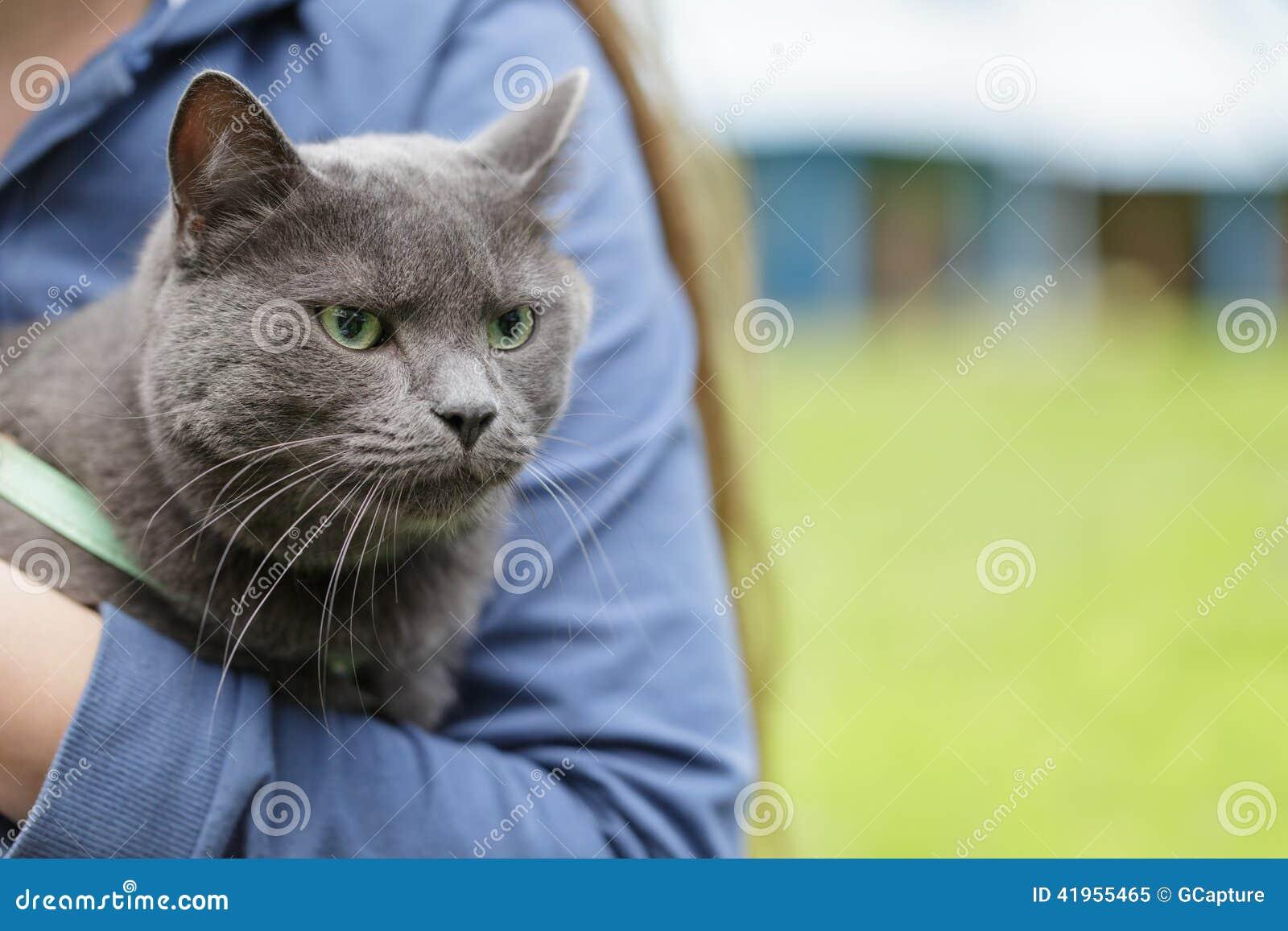 Brytyjski shorthair kot na rękach z nieszczęśliwym spojrzeniem