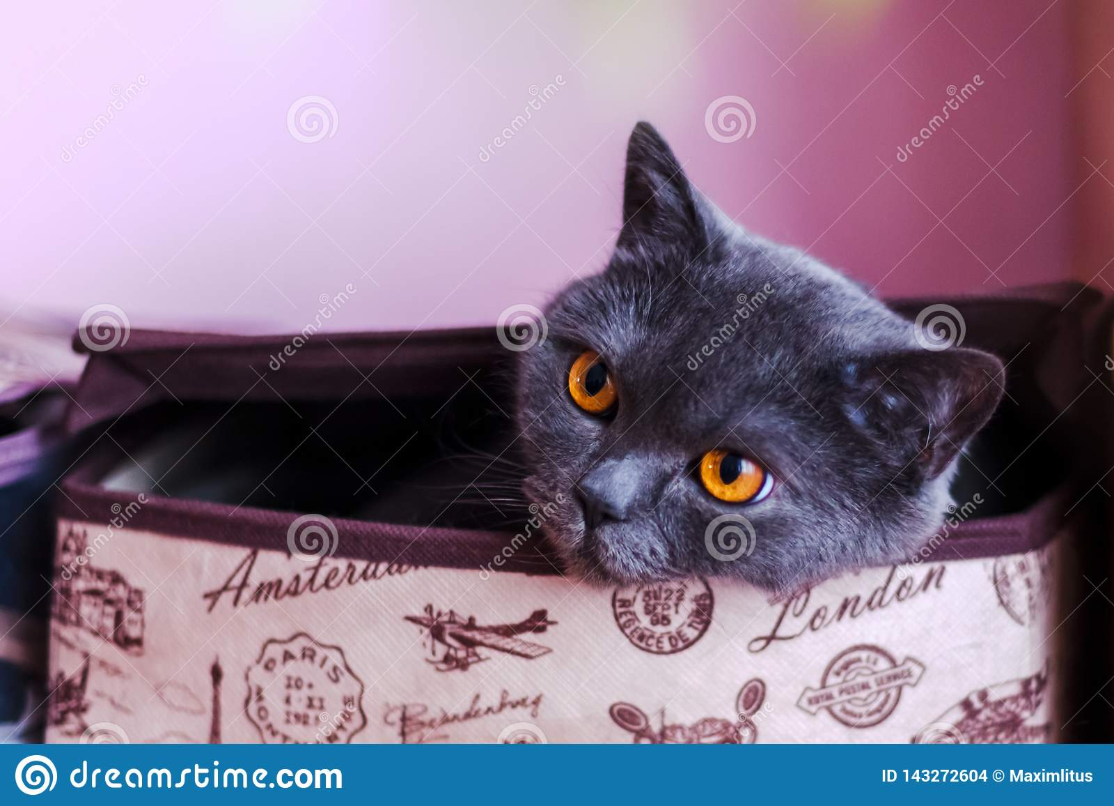 Brytyjski shorthair kota zbliżenie, patrzeje bezpośrednio przy kamerą