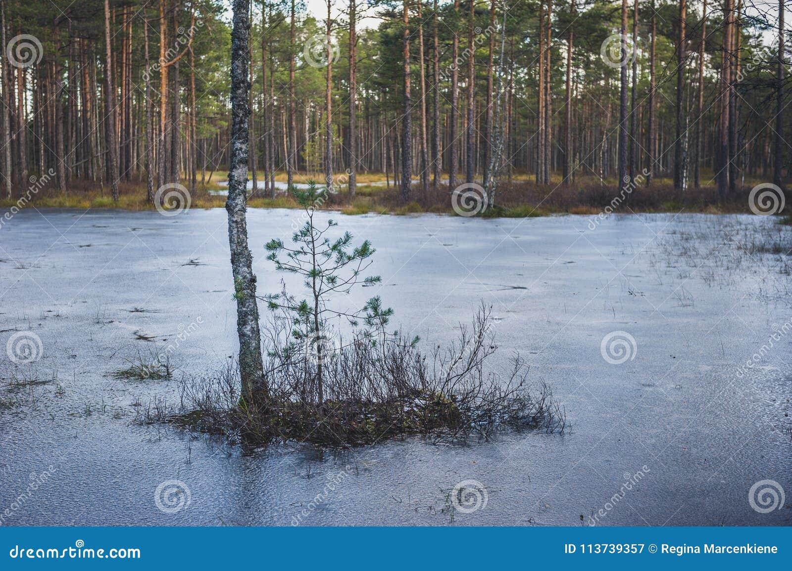 Brzoza i sosna po środku zamarzniętego jeziora