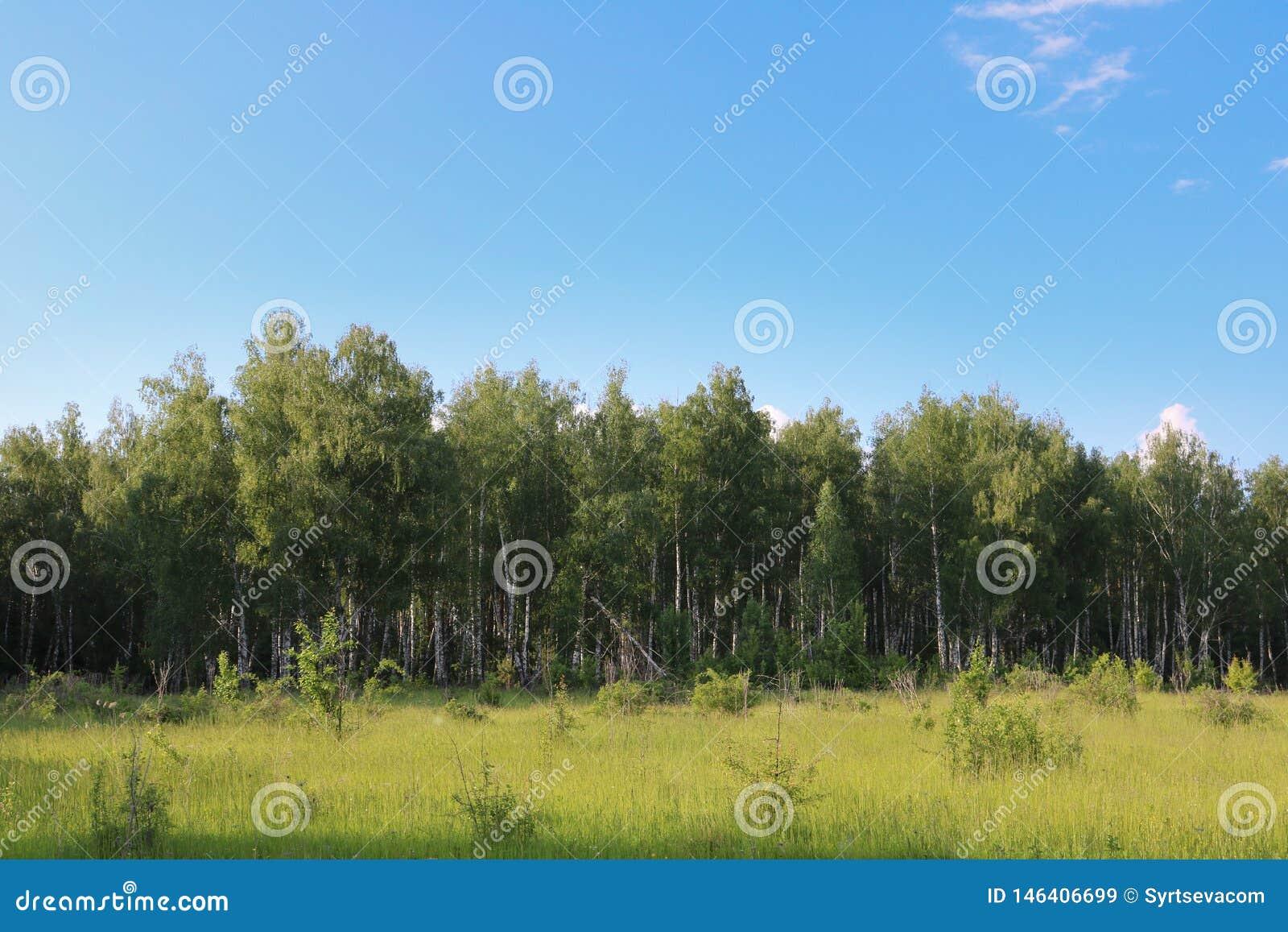 Brzoza las przeciw niebieskiemu niebu z biel chmurami i zielonymi łąkami z niskimi krzakami, lokalizować w przedpolu