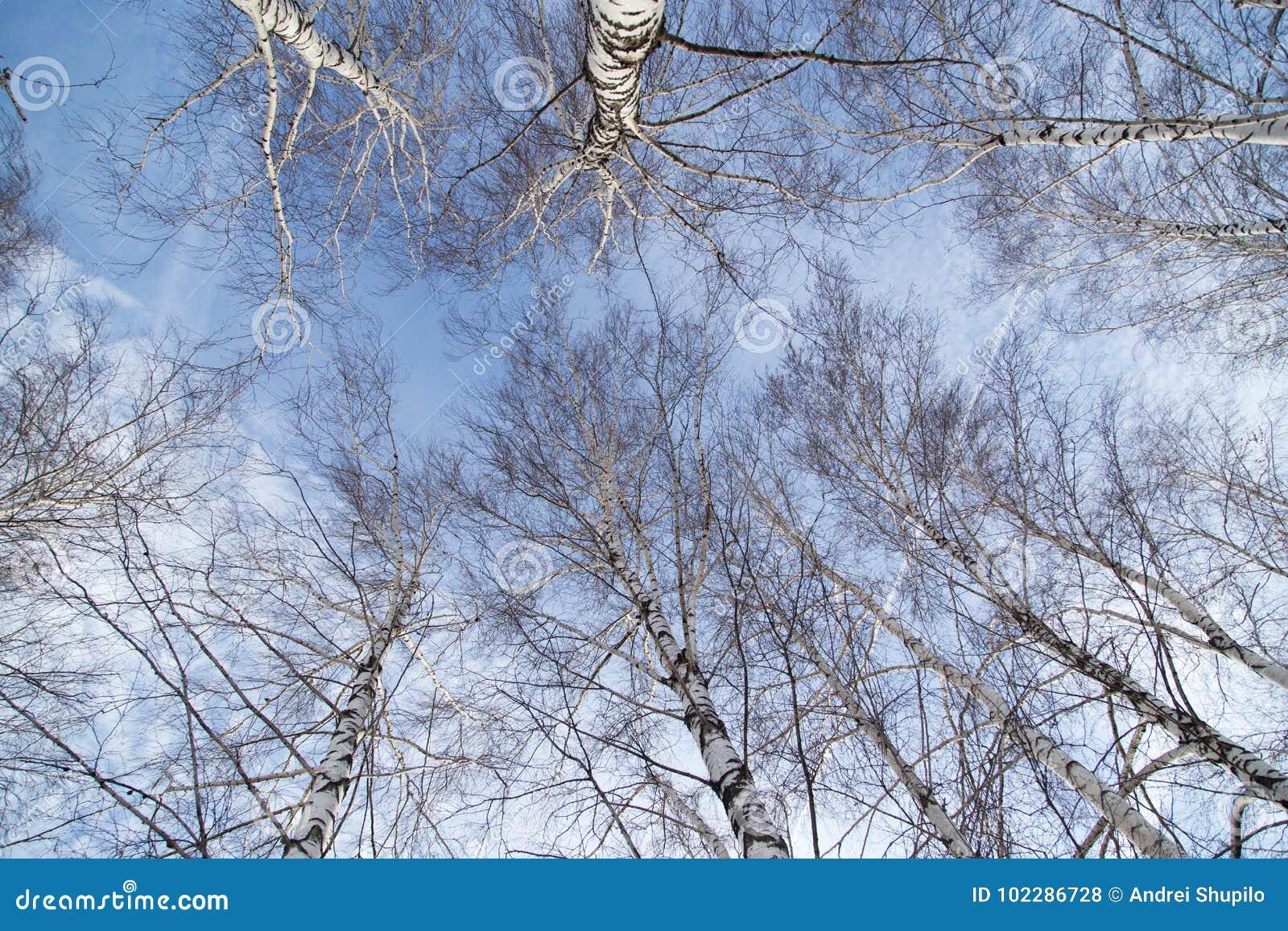 Brzoza przeciw niebieskiemu niebu