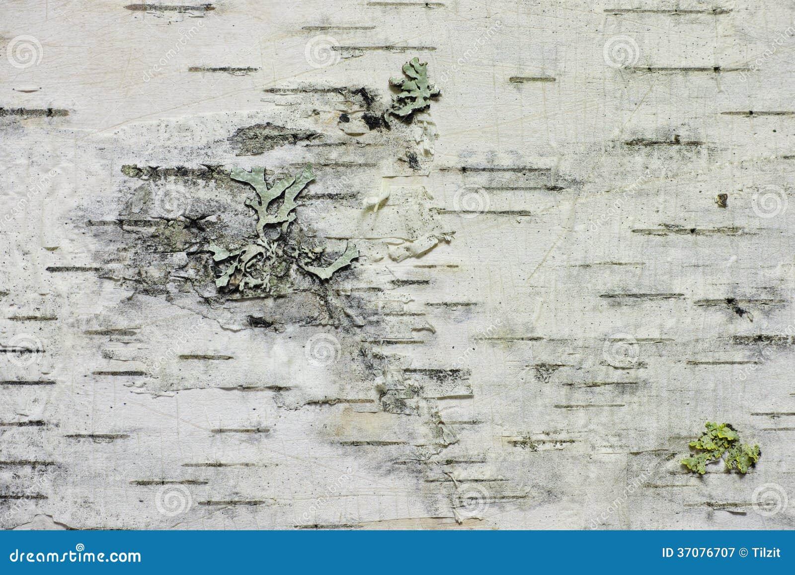 Download Brzozy barkentyna obraz stock. Obraz złożonej z brzoza - 37076707