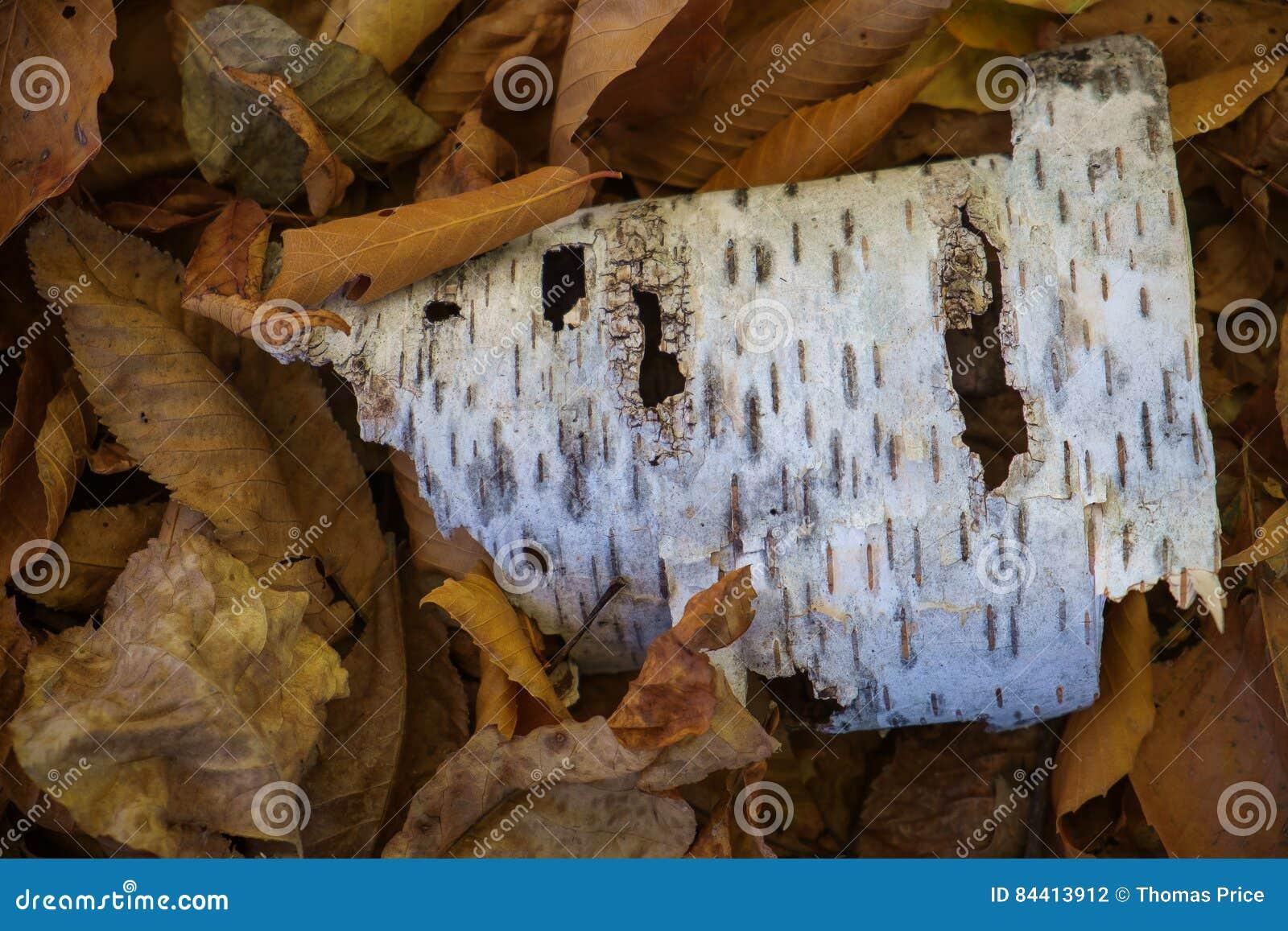 Brzozy barkentyna odpoczywa na wysuszonych liściach