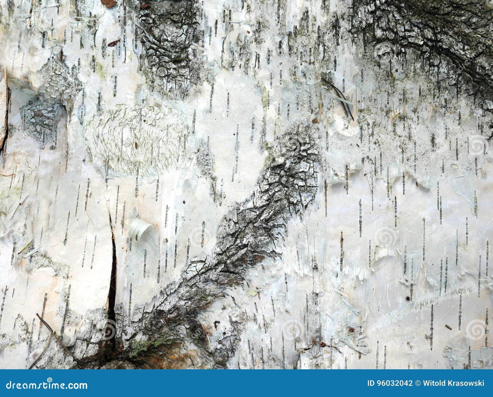 Brzozy barkentyny tło