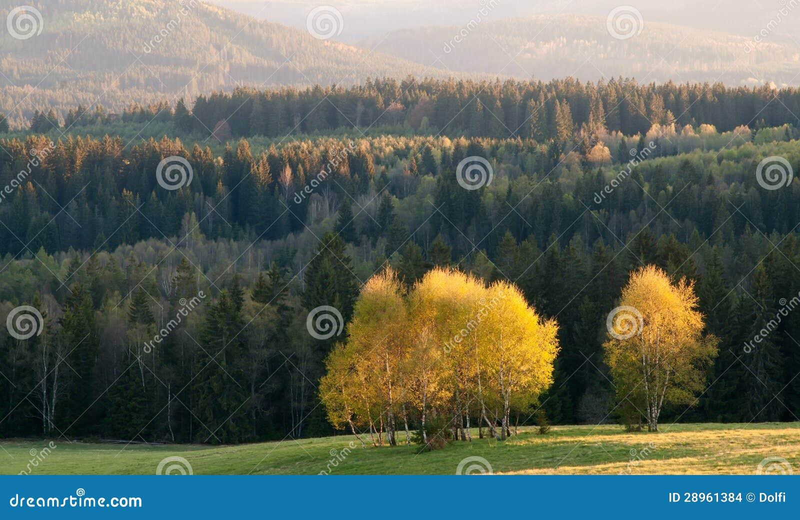 Brzozy drzewa grono