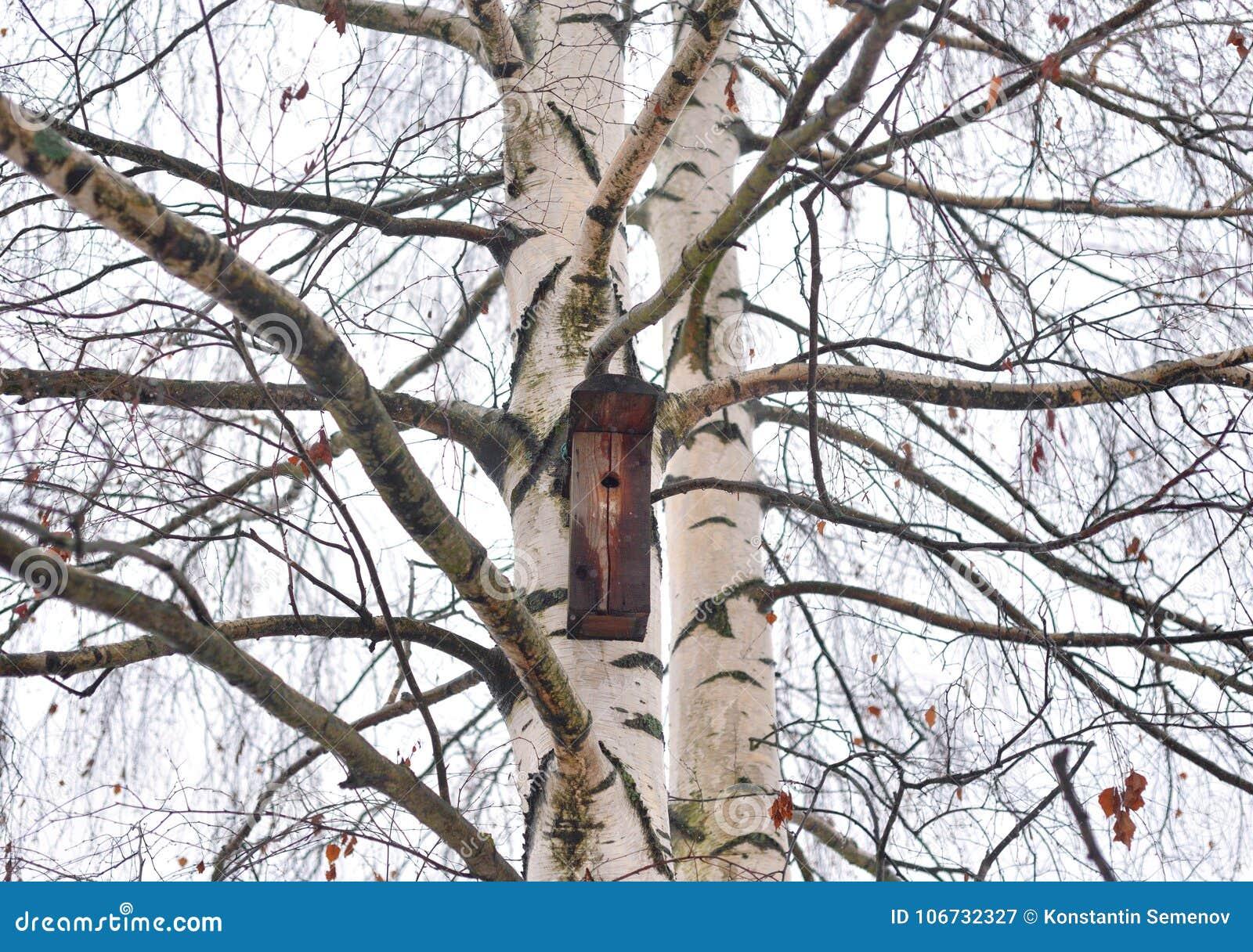 Brzozy drzewo bez liści