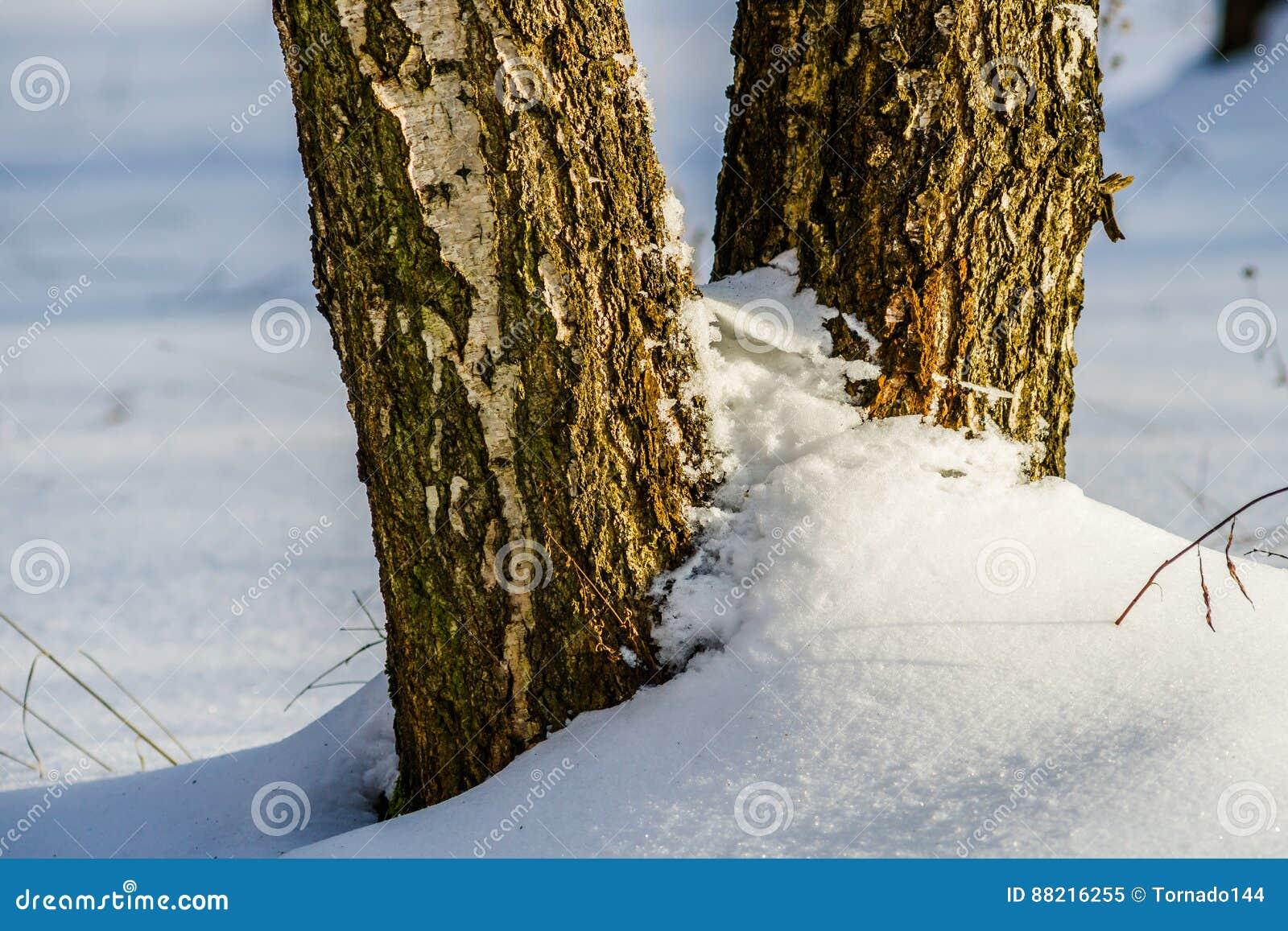 Brzozy drzewo w śniegu