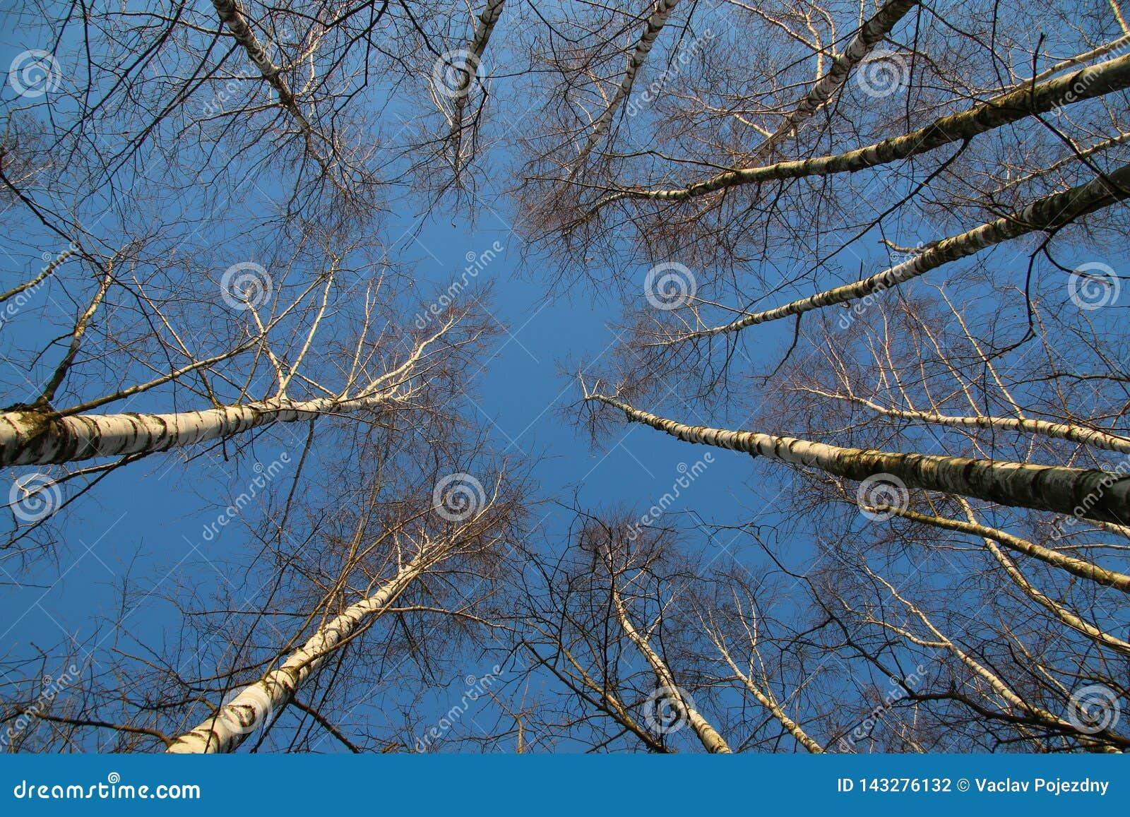 Brzozy lasowy przyglądający w górę
