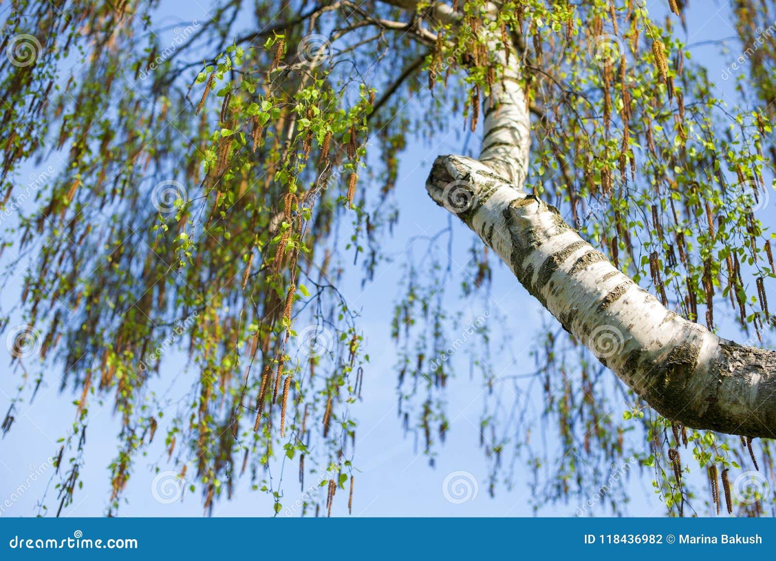 Brzozy niebieskie niebo i gałąź Wiosna i drzewa
