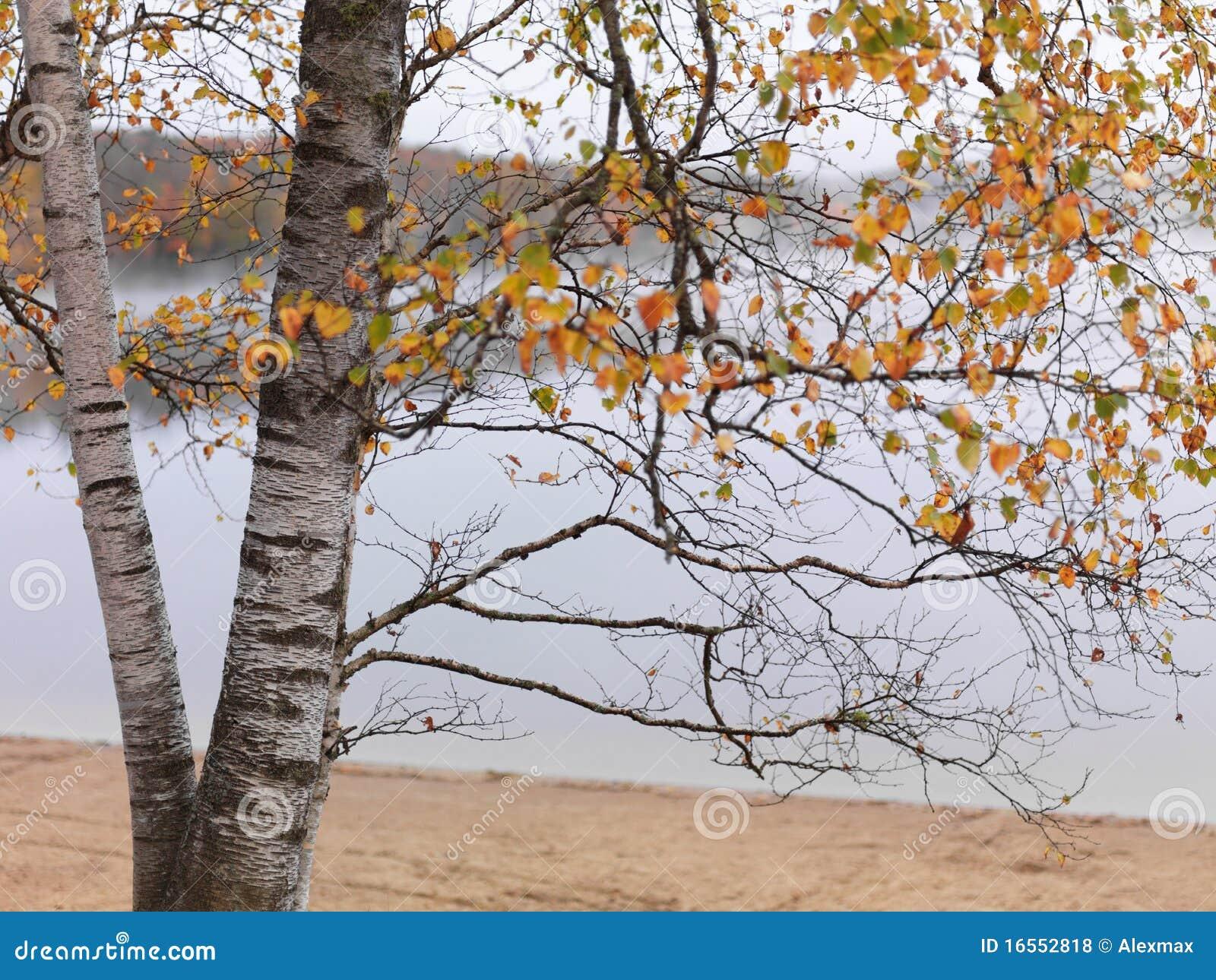 Brzozy spadek drzewo