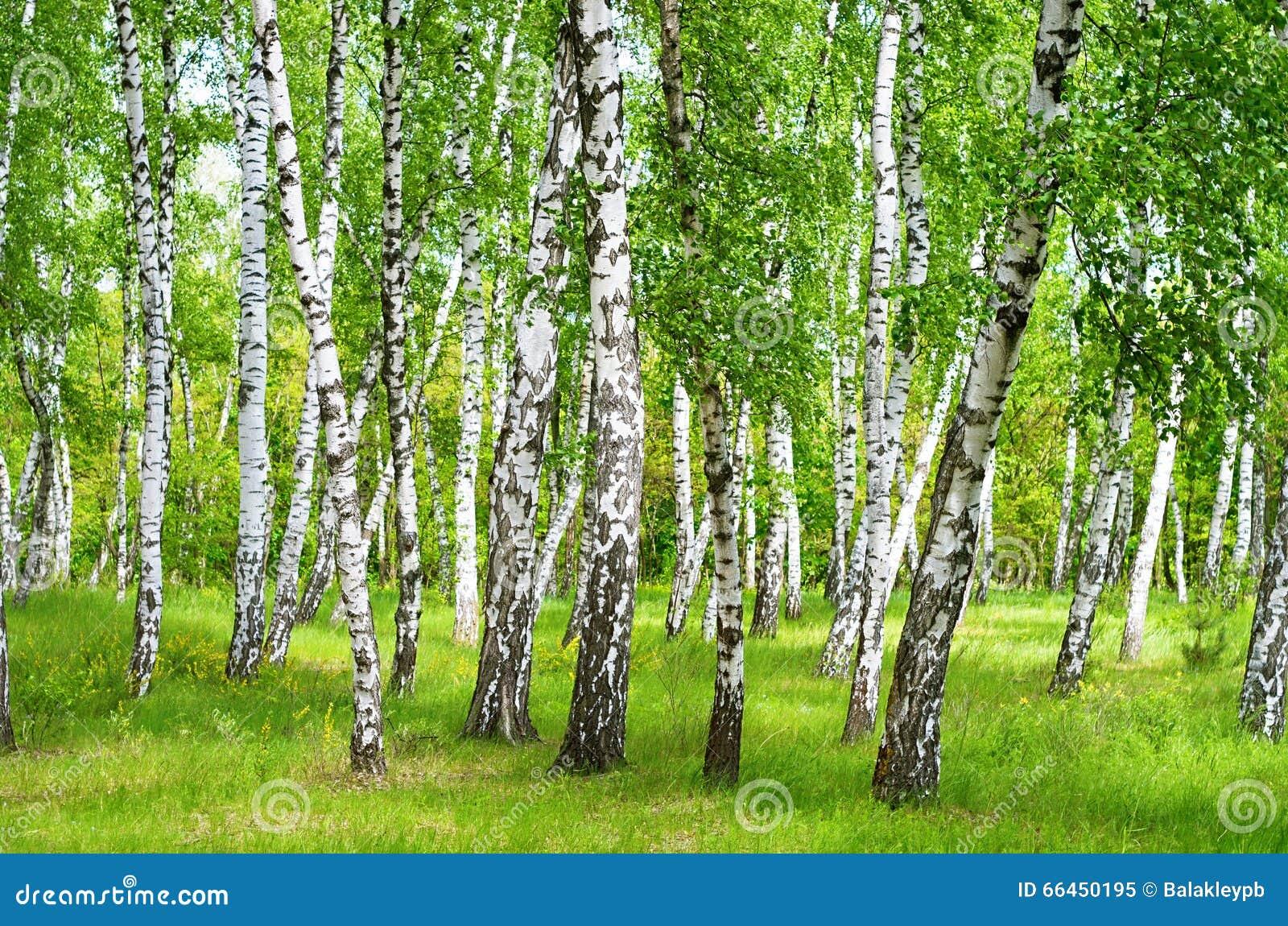 Brzozy ulistnienia zieleni gaj może