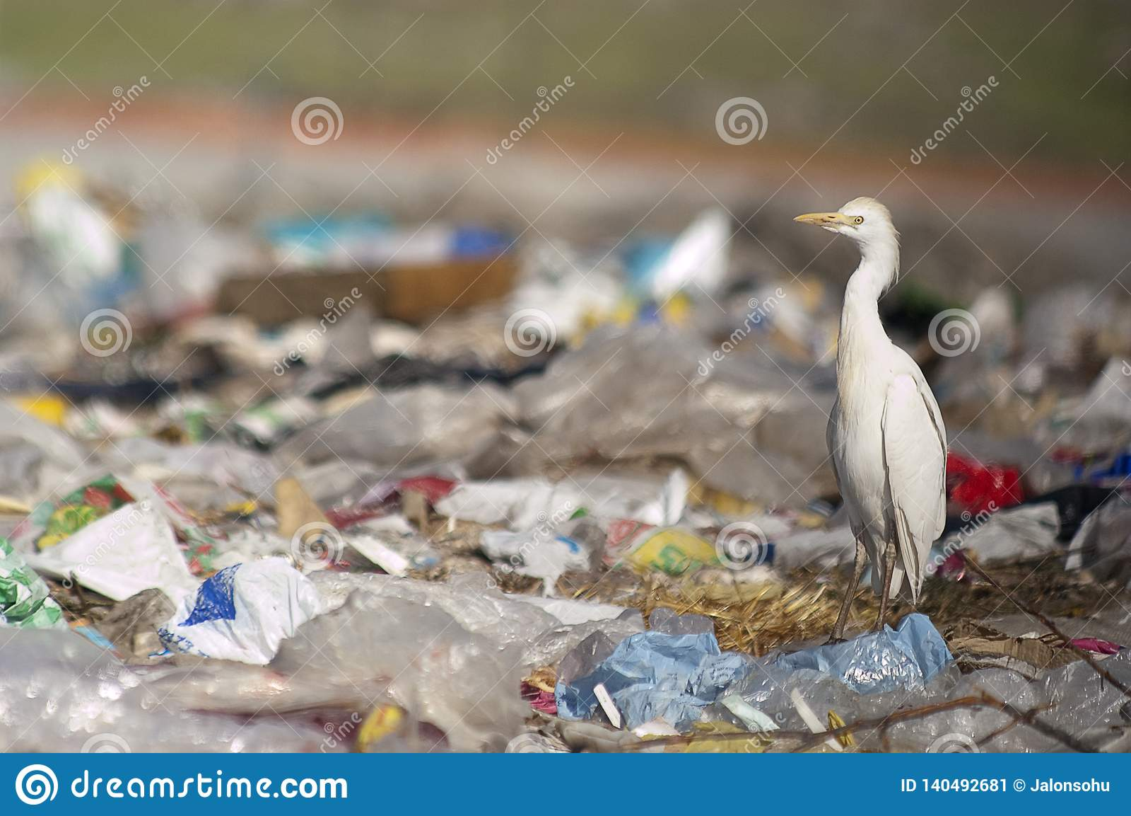 Bubulcus ibis Egret скотин в погани