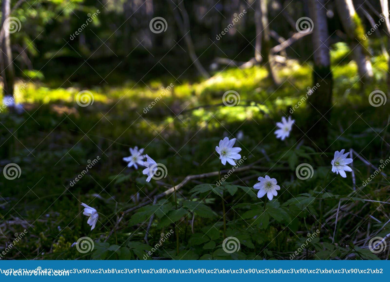 Bucaneve nel boschetto della foresta