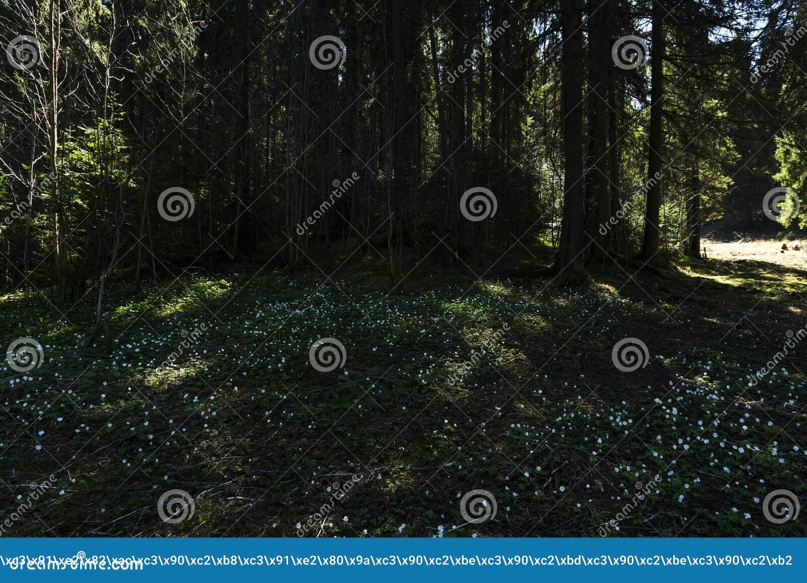 Bucaneve su una radura ombreggiata della foresta un giorno soleggiato