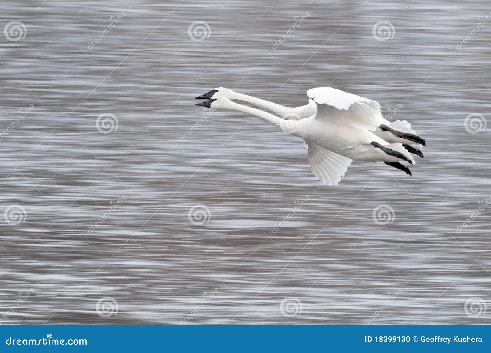 Buccinator трубач 2 лебедей мухы cygnus