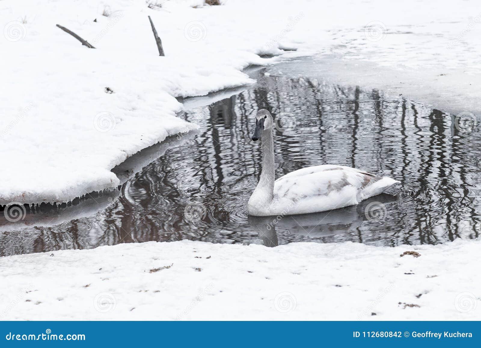 Buccinator Vlotters van Cygnus van de trompetterzwaan Verlaten in Waterhole