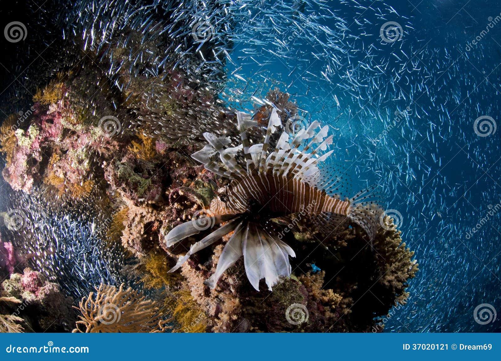 Buceo con escafandra, pescado del león, arrecife de coral, pescado, vida marina