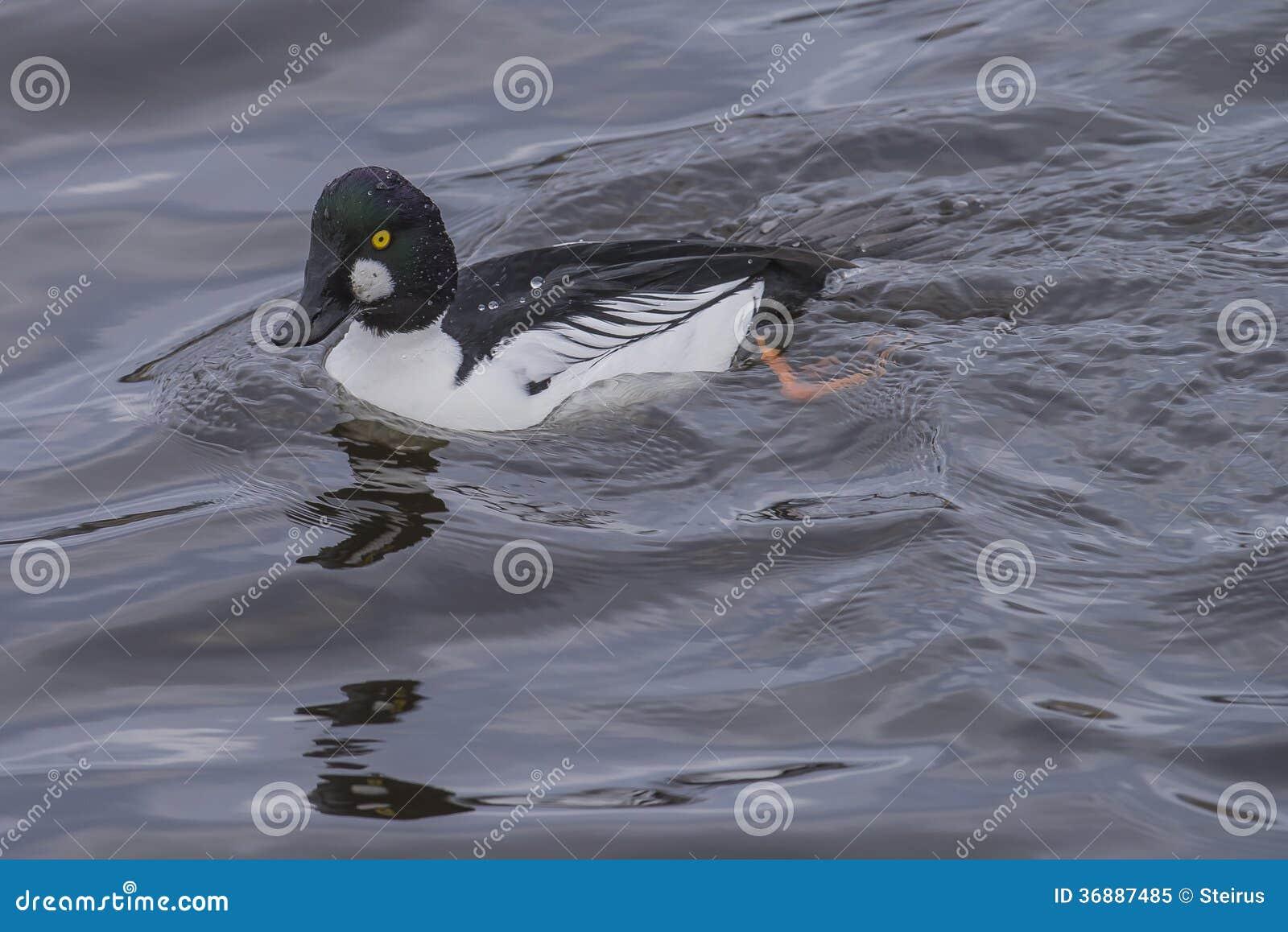 Download Bucephala Comune (clangula Del Bucephala) Immagine Stock - Immagine di acqua, comune: 36887485