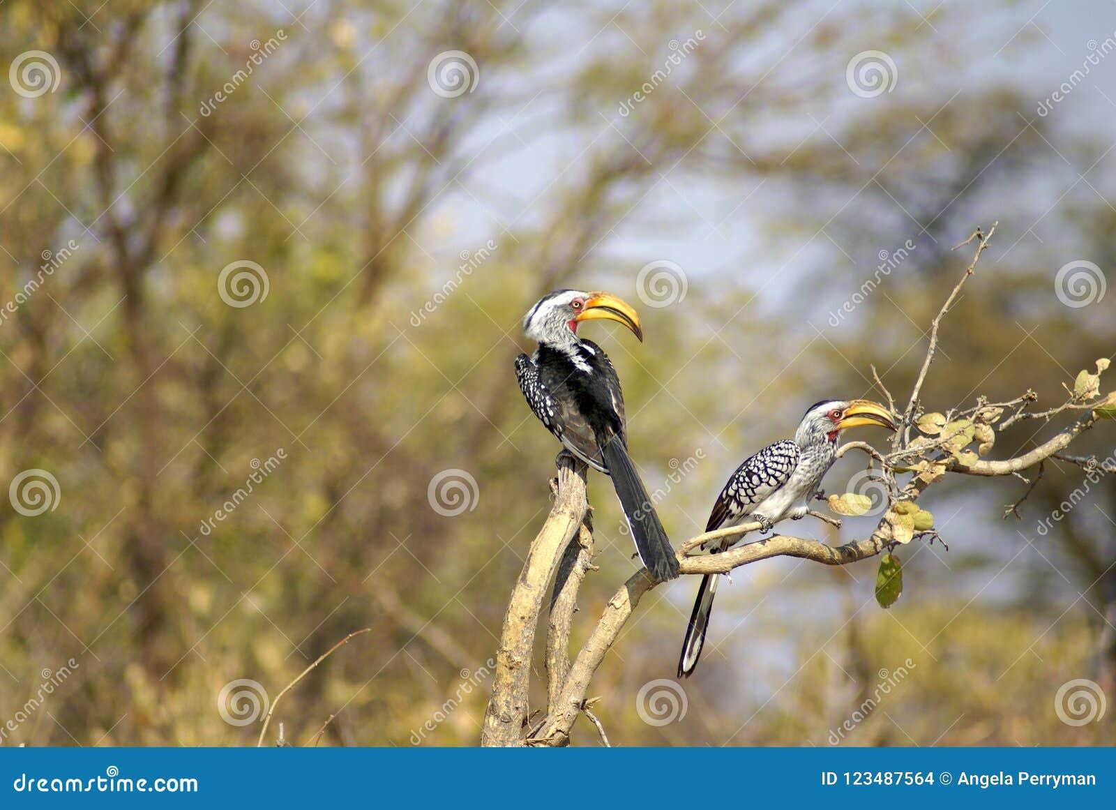 Buceri dal becco giallo del sud su un albero