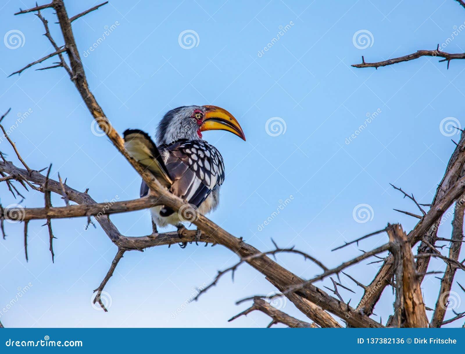 Bucero dal becco giallo del sud al Nxai Pan Nationalpark nel Botswana