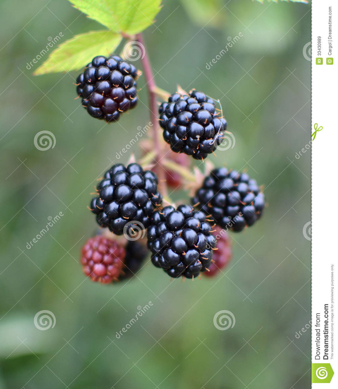 Bunch Of Blackberries Royalty Free Stock Images