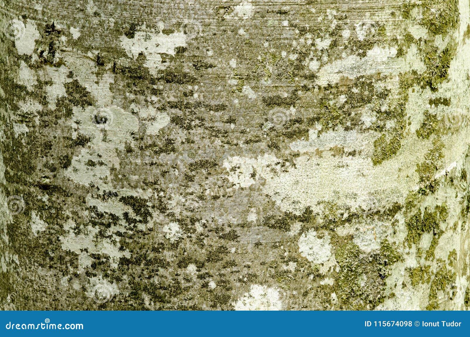 Buchenbaumrinde mit strukturiertem Muster