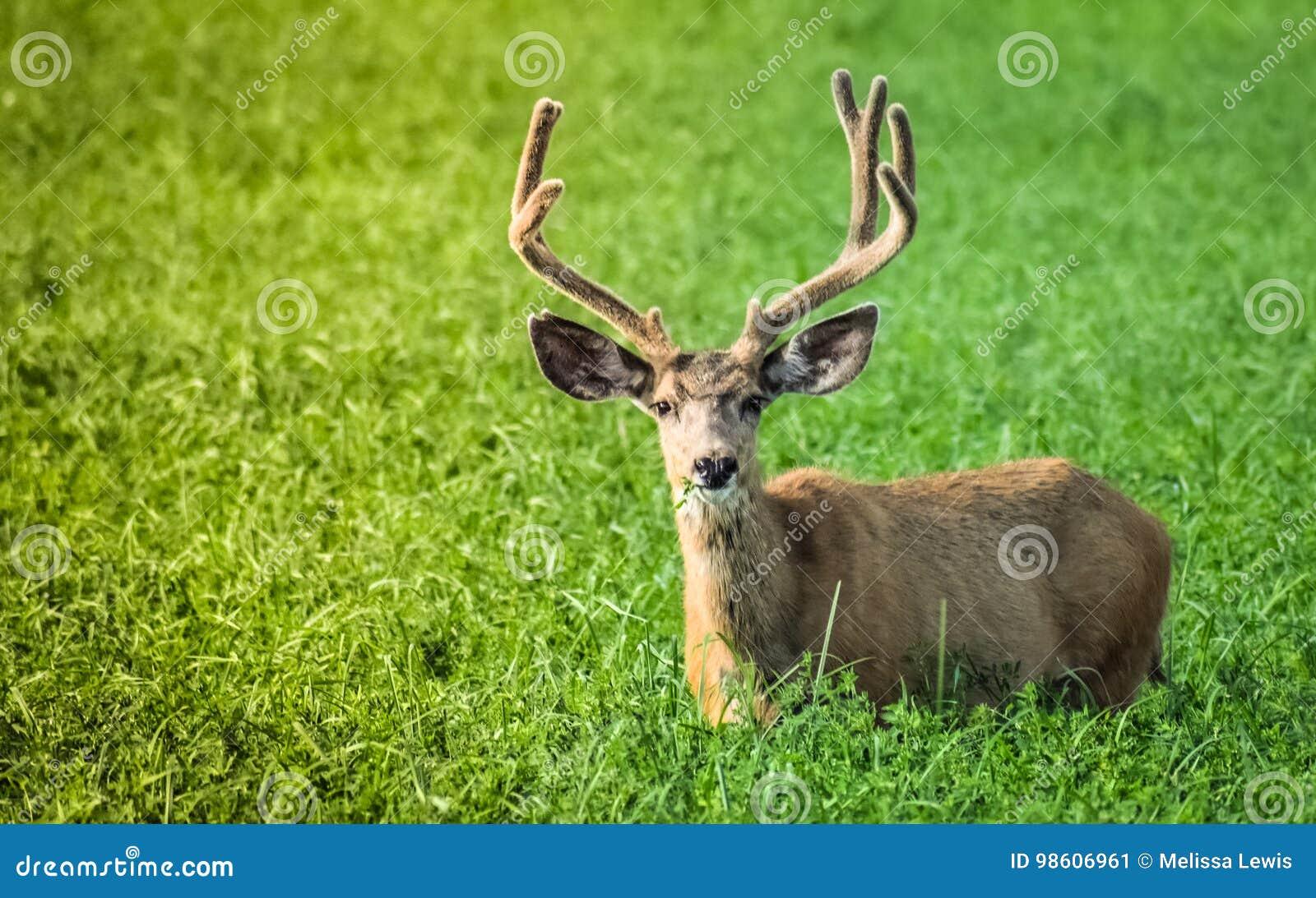 Buck που τρώει τα πράσινα