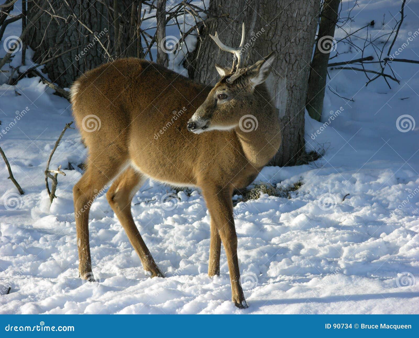 Buck χειμερινές νεολαίες
