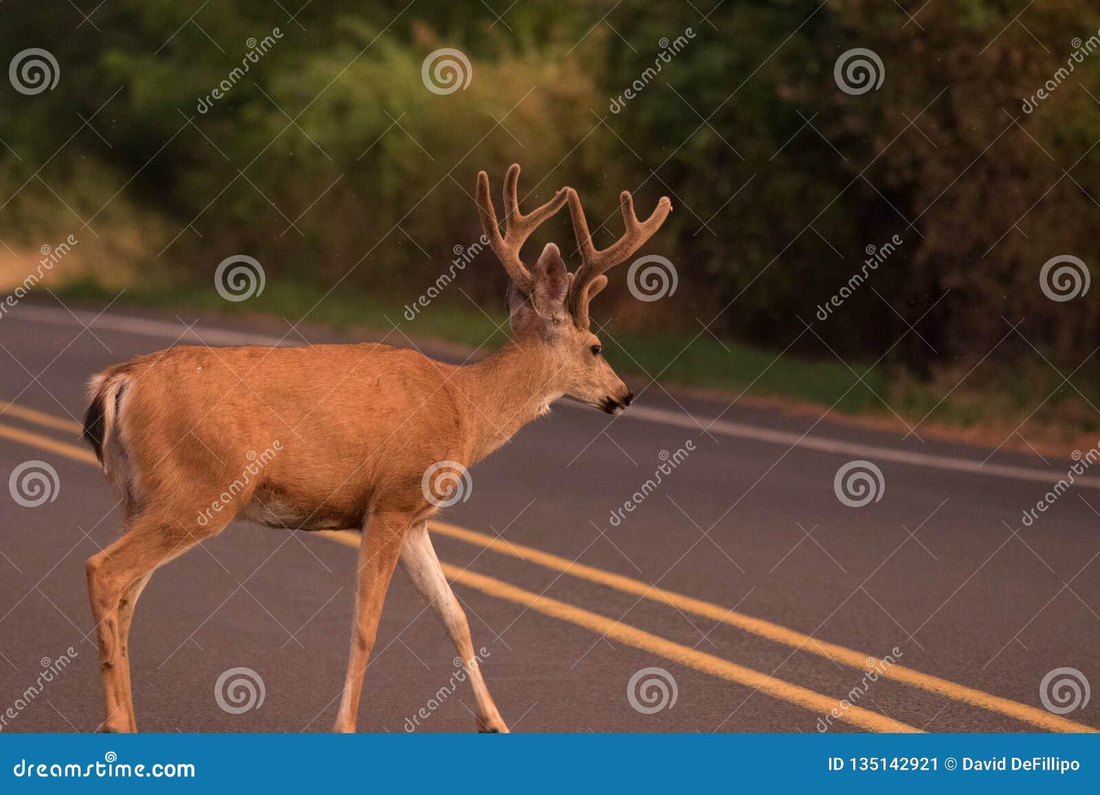 Buck Crossing el camino