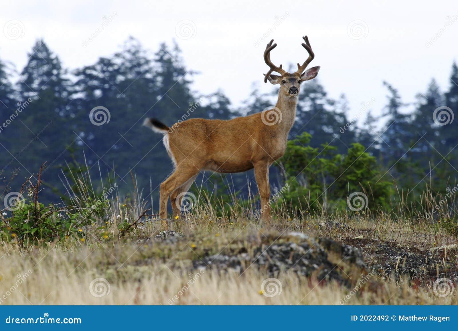 Buck Deer With Antlers