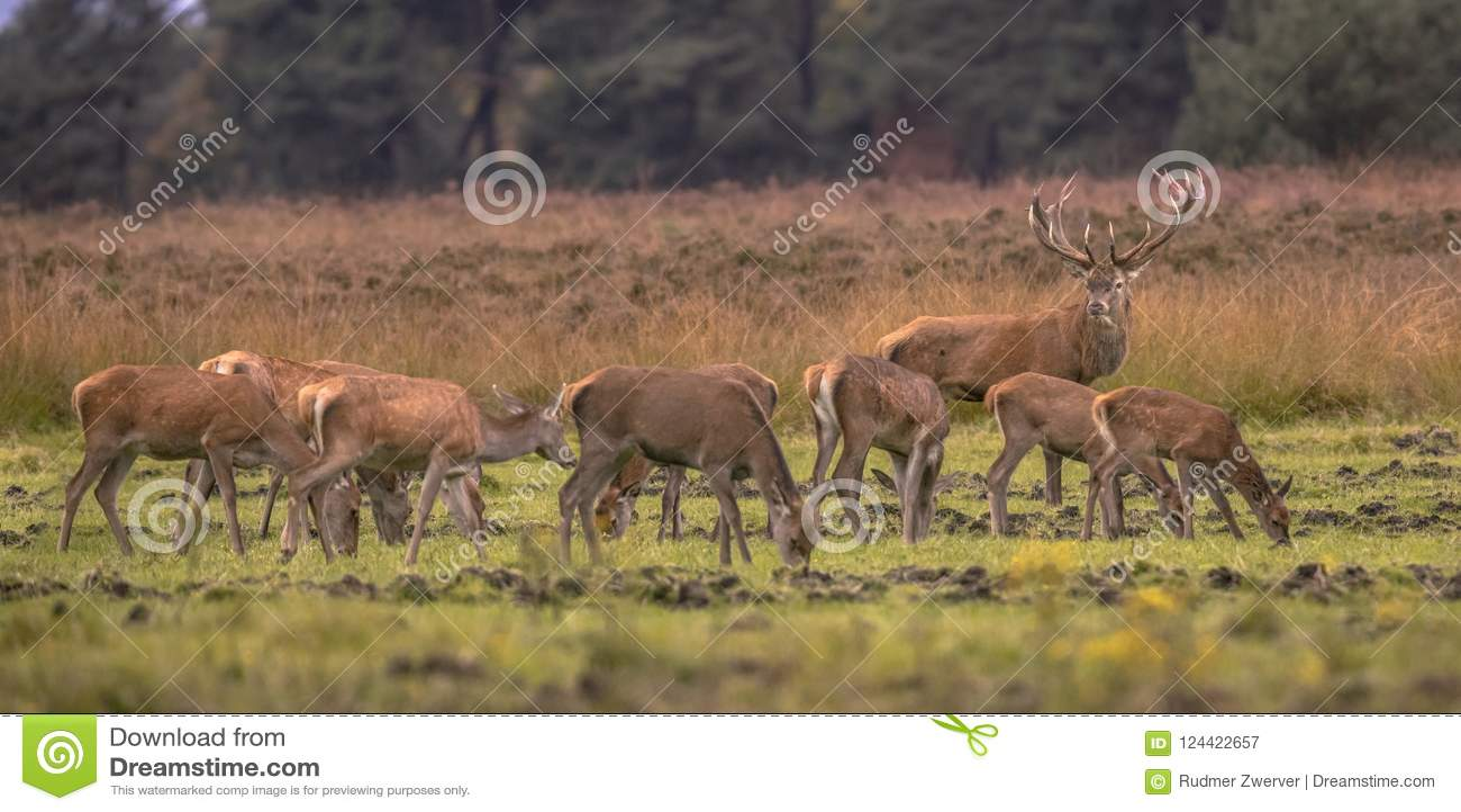 Buck deer guarding hinds