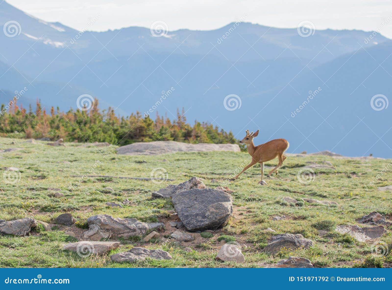 Buck Deer joven con las nuevas astas que corren en un prado alpino en un día de verano en Rocky Mountain National Park en Colorad