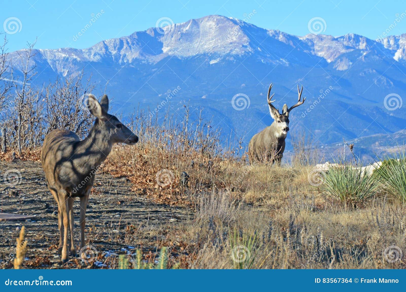 A Buck and Doe Deer Exchange Glance at Mating Season