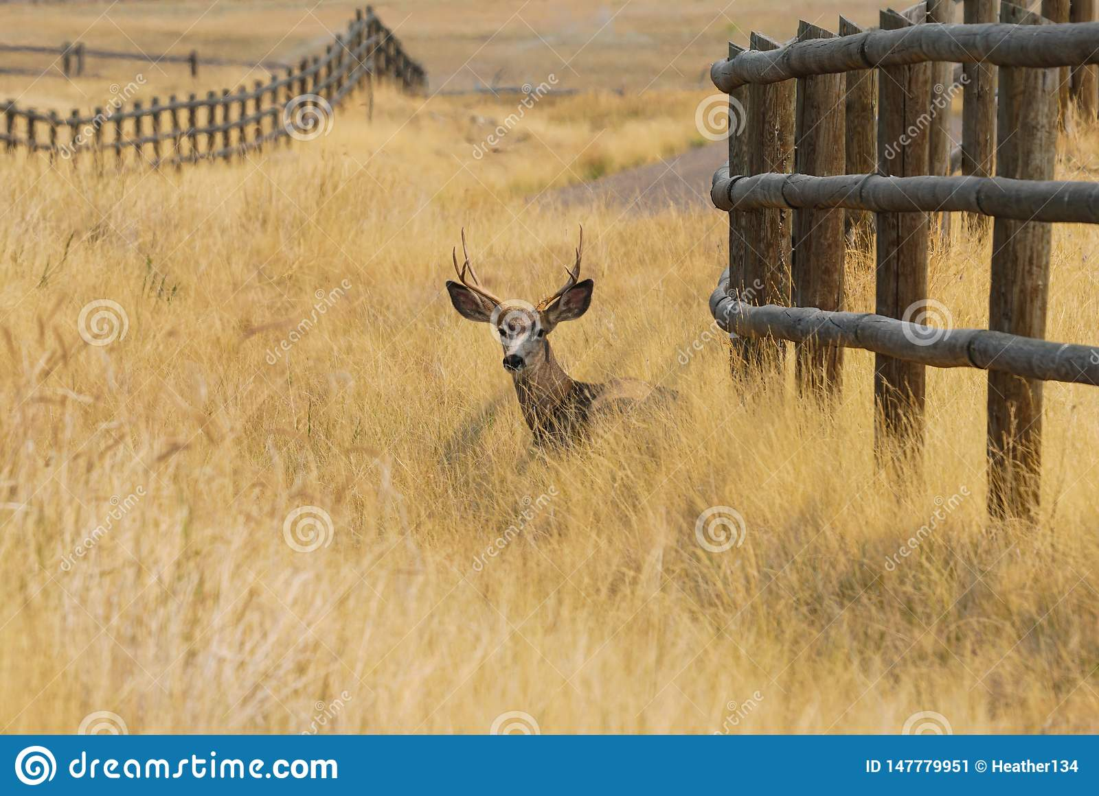 A Buck Resting in the Autumn Grass