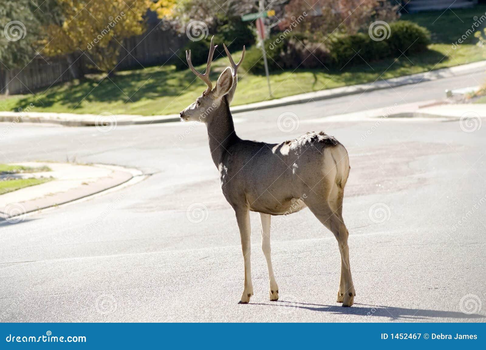 Buck in Road