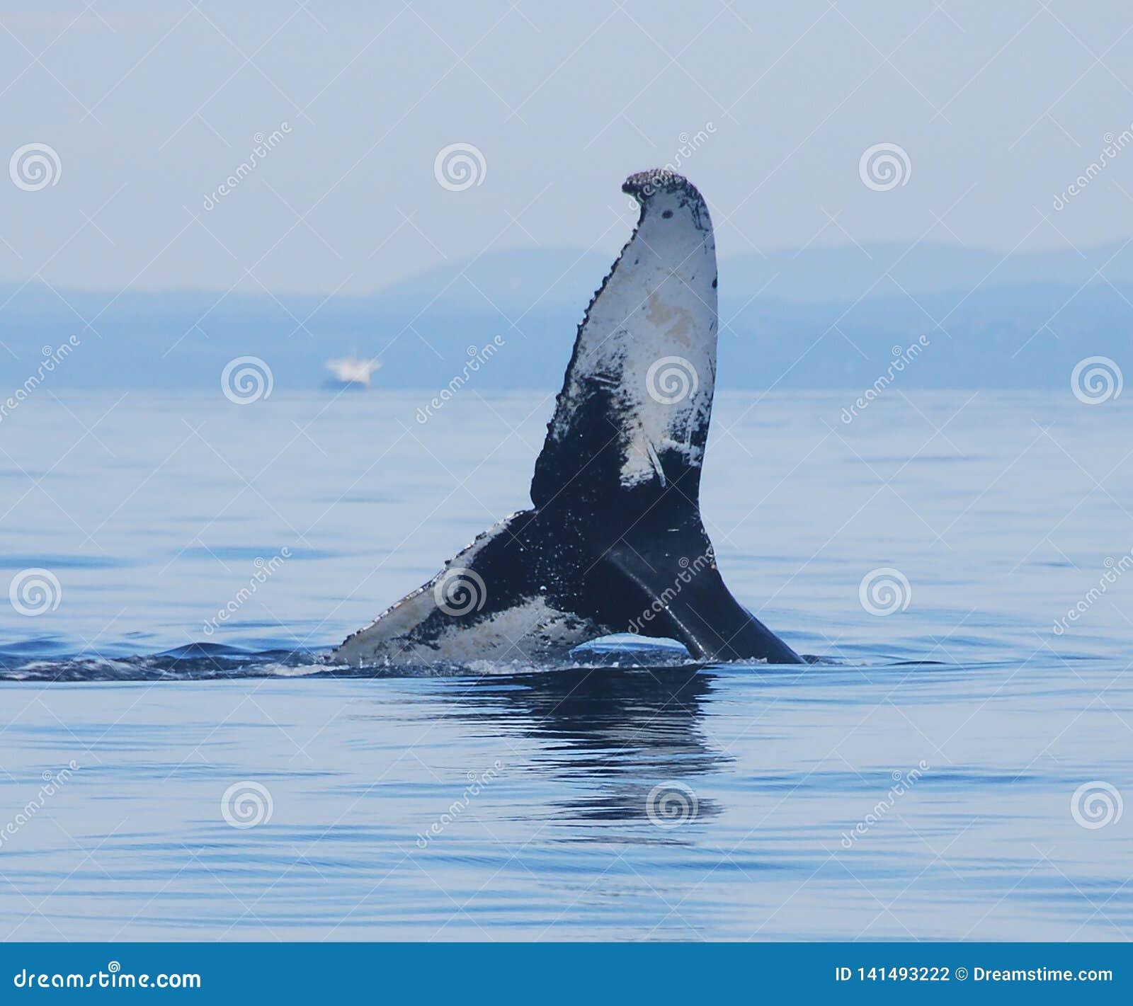 Buckelwal, der in der Bucht Sept.-Iles spielt