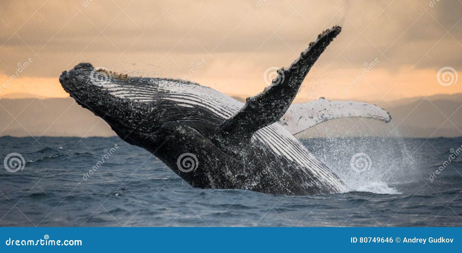 Buckelwal springt vom Wasser heraus Schöner Sprung Eine seltene Fotografie madagaskar St- Mary` s Insel