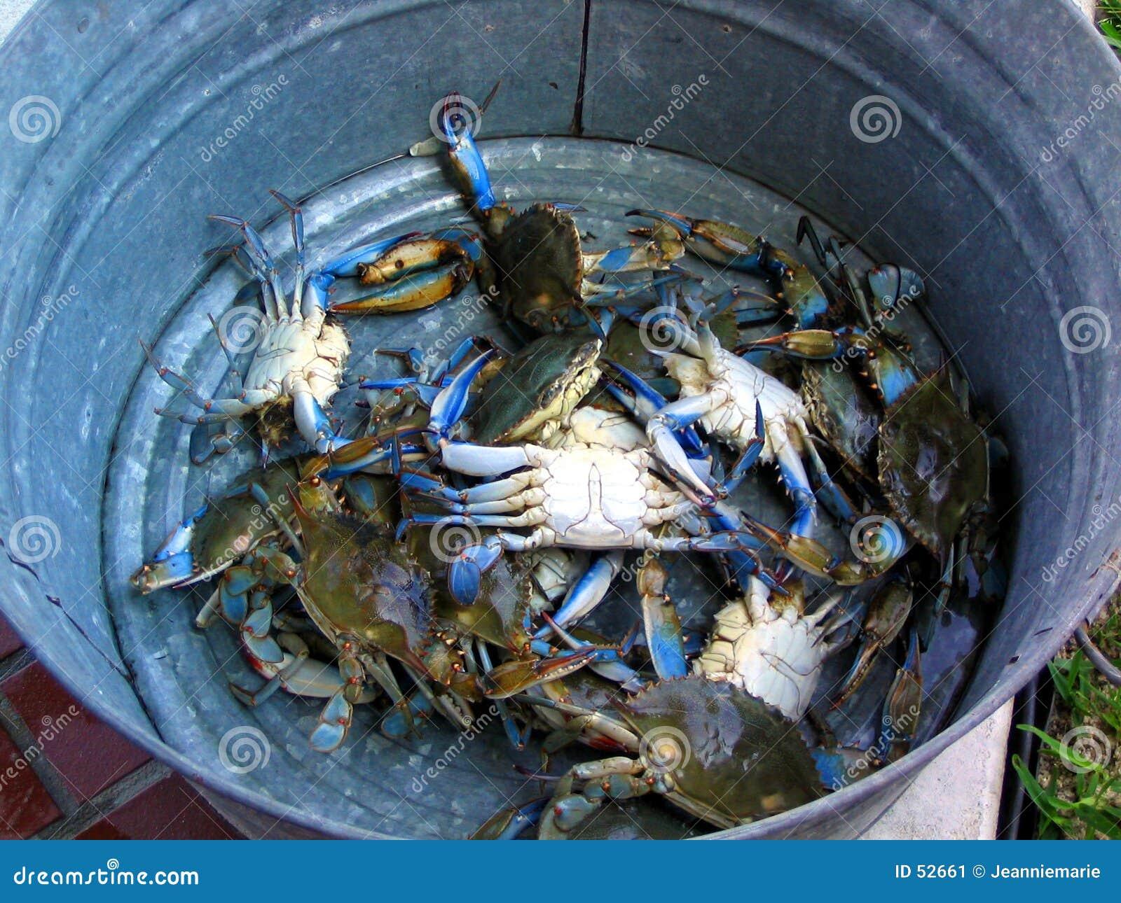 Bucket of Blue Crabs