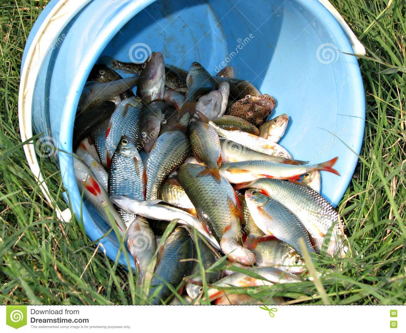 A bucket of fish royalty free stock photos image 10088178 for Bucket of fish