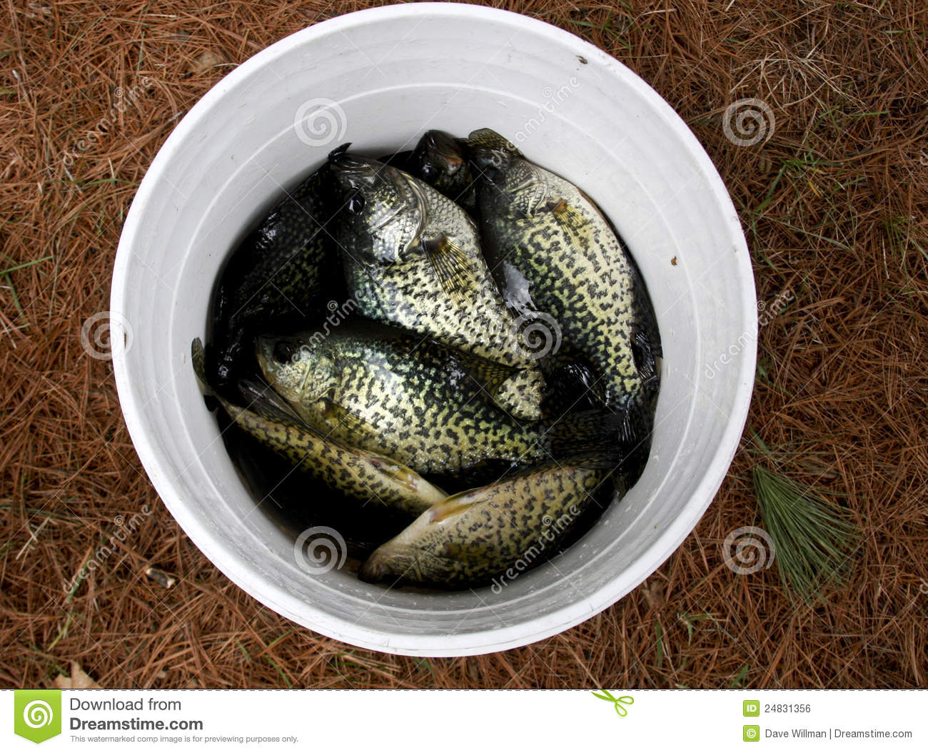 Bucket of fish royalty free stock image image 24831356 for Bucket of fish