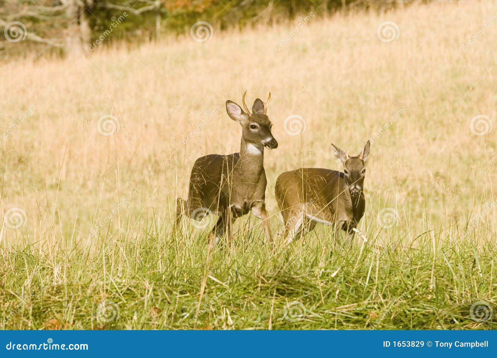 Bucks κινήστε δύο νεολαίες whitetail