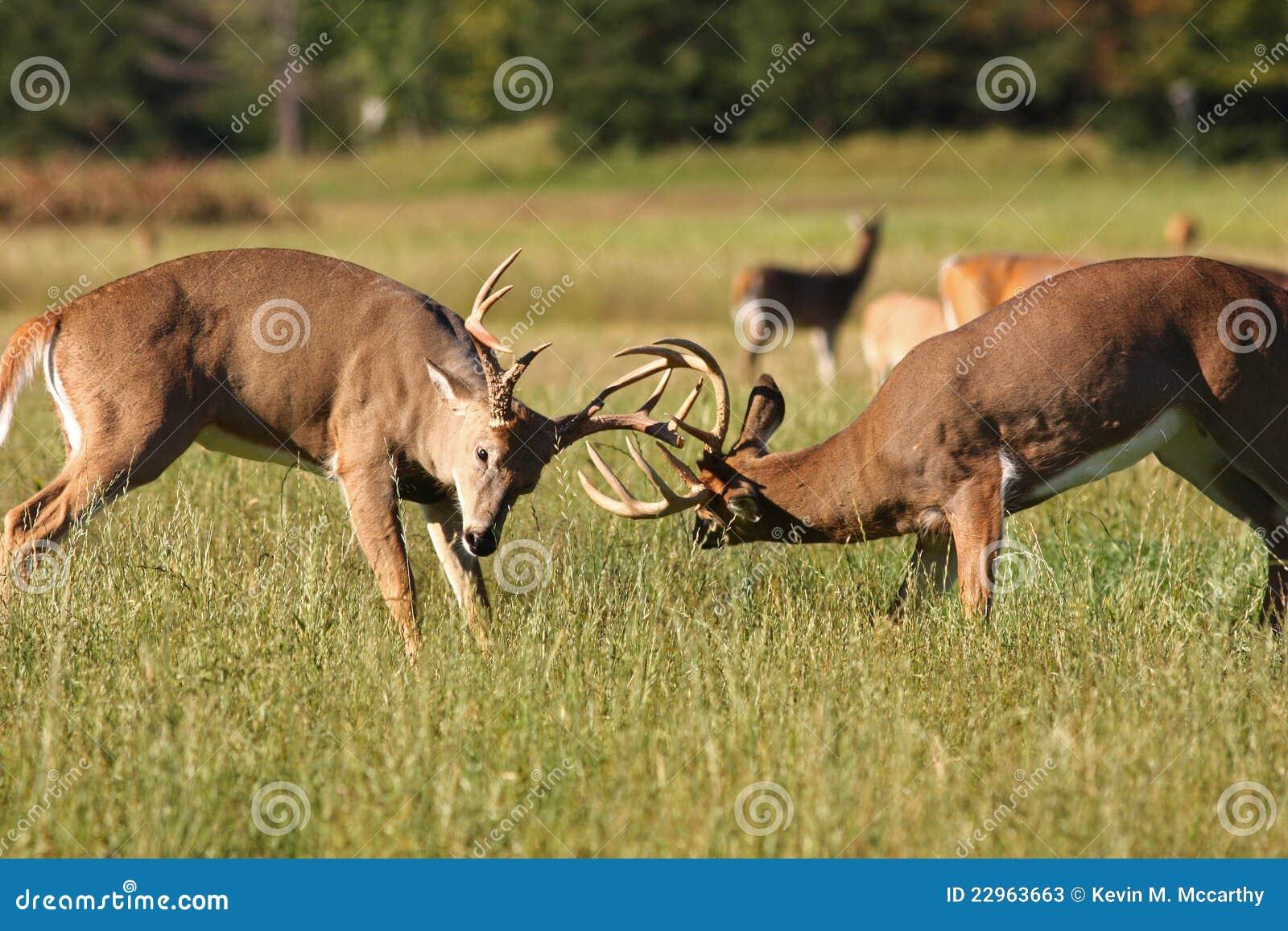 Bucks олени воюя whitetail 2
