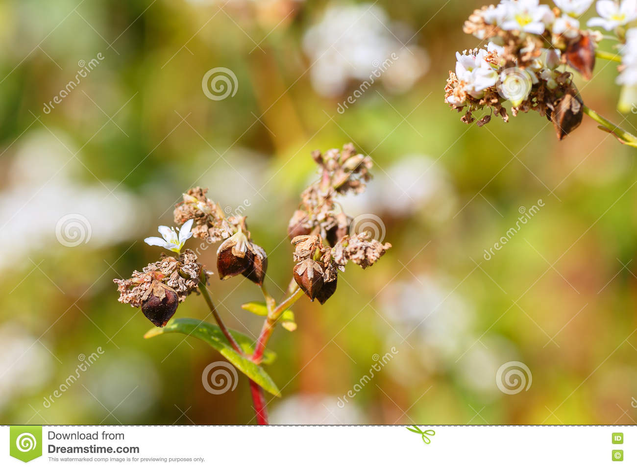 Buckwheat Flowers With Selective Focus Stock Image Of Grain Use In Macro Photography For Dummies Photo Flower Plant Natural Background Blossom