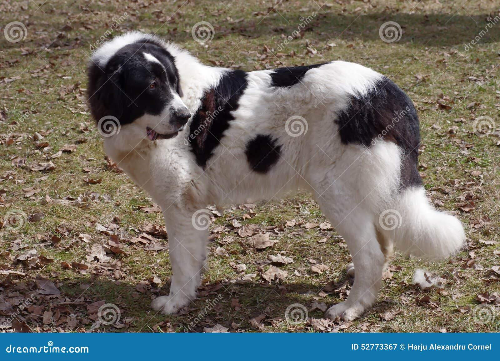 Bucovina Shepherd Dog Stock Photo Image 52773367